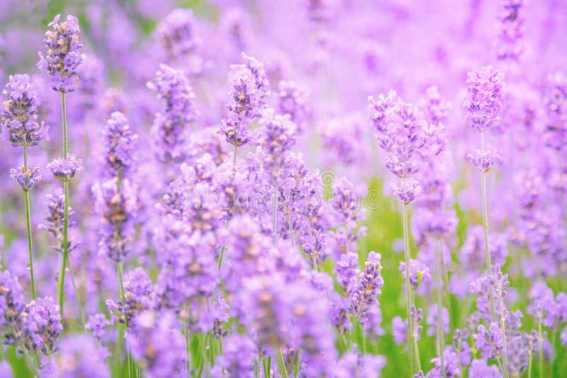 Feche acima do campo de flor da alfazema borrado imagens de stock