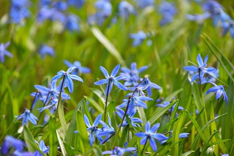 Feche acima do campo de flores azuis de Scilla da mola fotos de stock royalty free