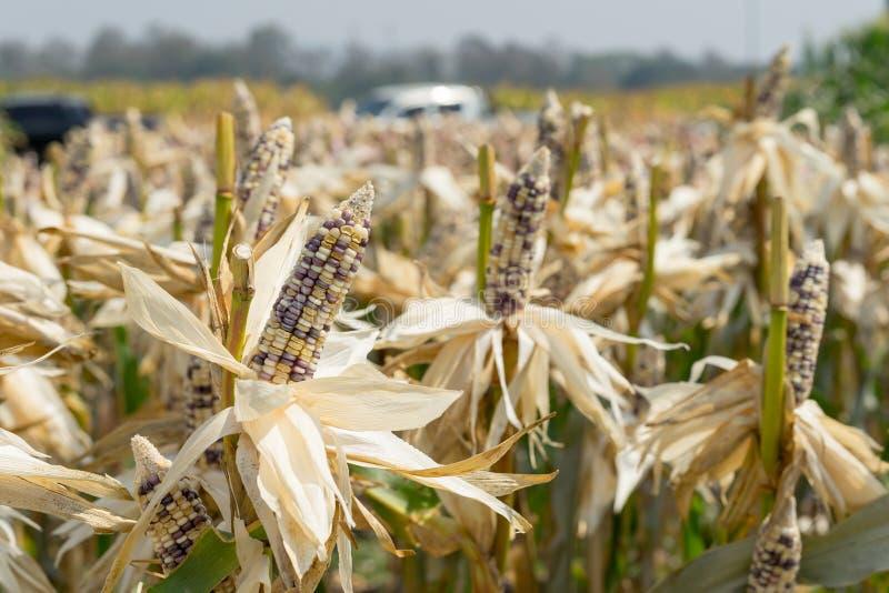 Feche acima do campo de milho na planta de colheita para colher fotografia de stock royalty free