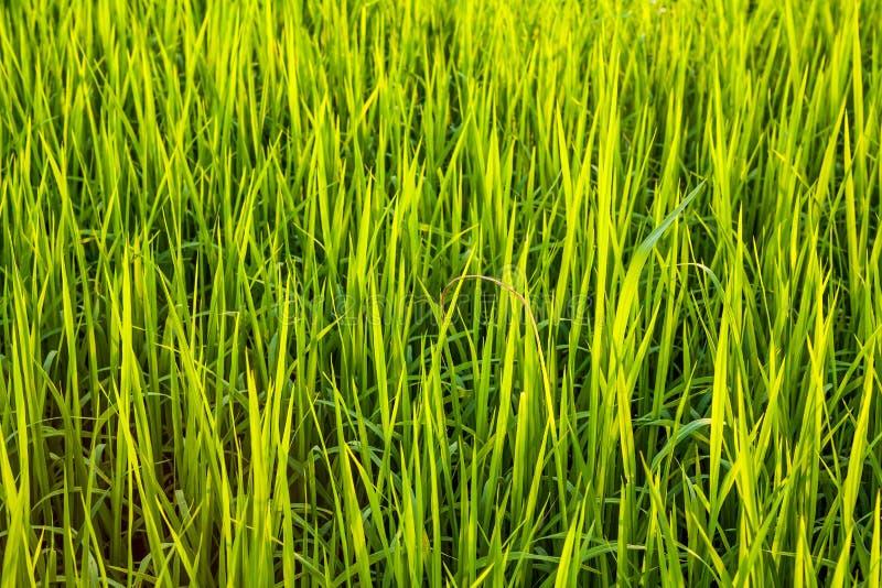 Feche acima do campo do arroz imagens de stock