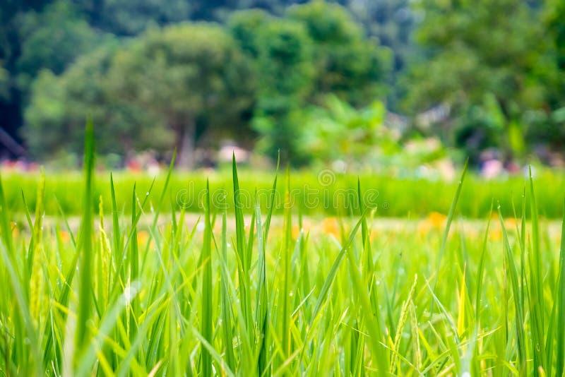 Feche acima do campo verde do arroz com orvalho da água, fundo da agricultura fotografia de stock