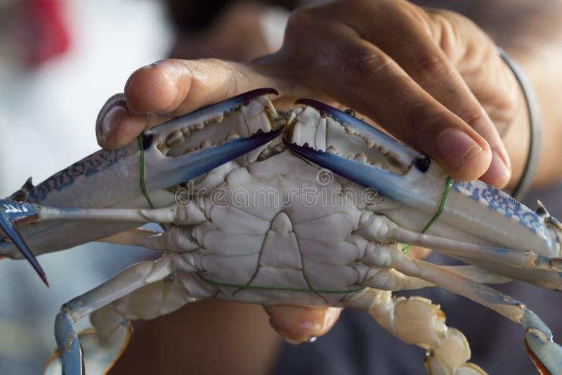 Feche acima do caranguejo azul, wi azuis do pelagicus do Portunus do caranguejo do nadador imagens de stock