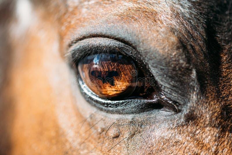 Feche acima do cavalo de baía árabe imagens de stock royalty free