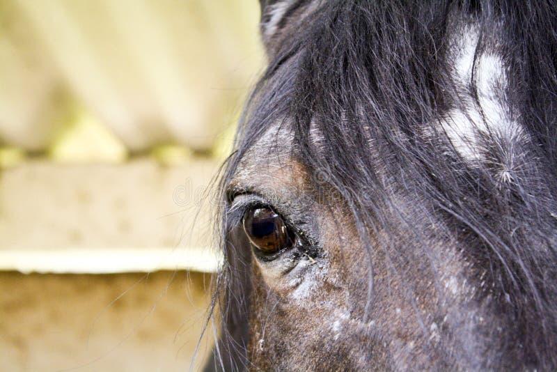 Feche acima do cavalo de baía árabe imagem de stock royalty free