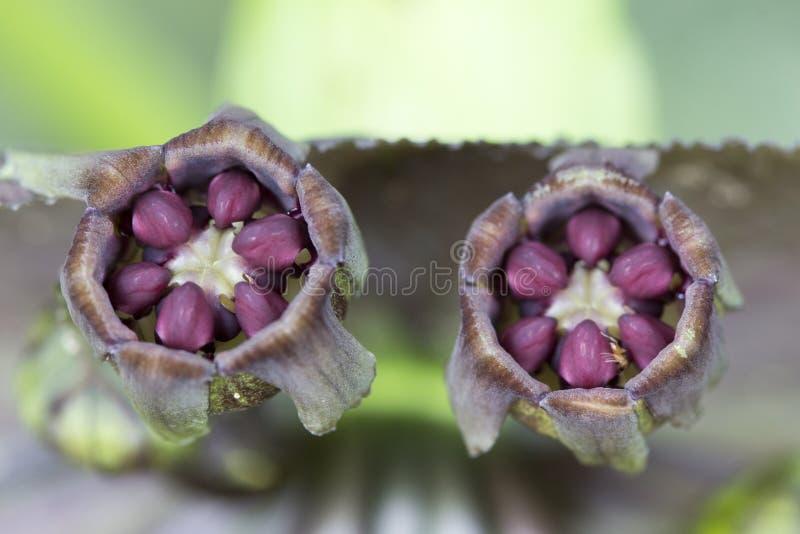 Feche acima do chantrieri Andre do Tacca, a flor preta do bastão fotos de stock royalty free