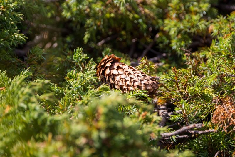 Feche acima do cone do abeto vermelho, centrado com a profundidade de campo rasa, caída em um prado, cercado por ramos verdes do  fotografia de stock