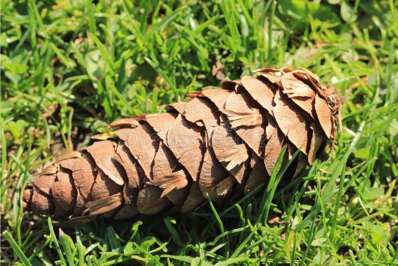 Feche acima do cone do pinho, caído na grama verde rica imagens de stock