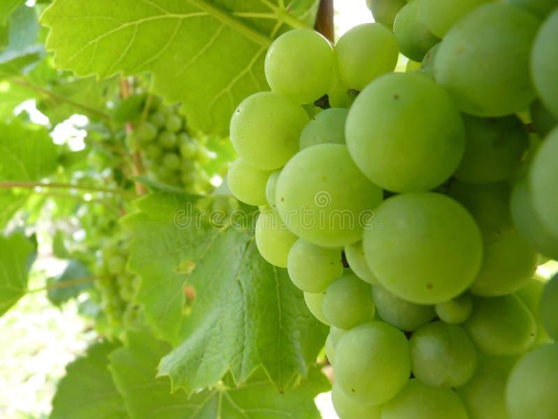 Feche acima do conjunto maduro da uva na videira foto de stock royalty free