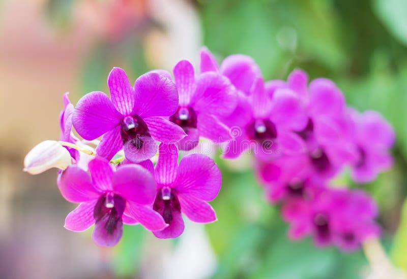 Feche acima do crescimento de florescência das flores tropicais cor-de-rosa das orquídeas no jardim imagens de stock