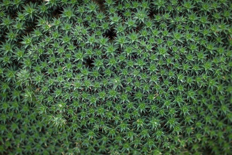 Feche acima do descanso de uma planta da bromeliácea, cacto, folhas do verde fotografia de stock