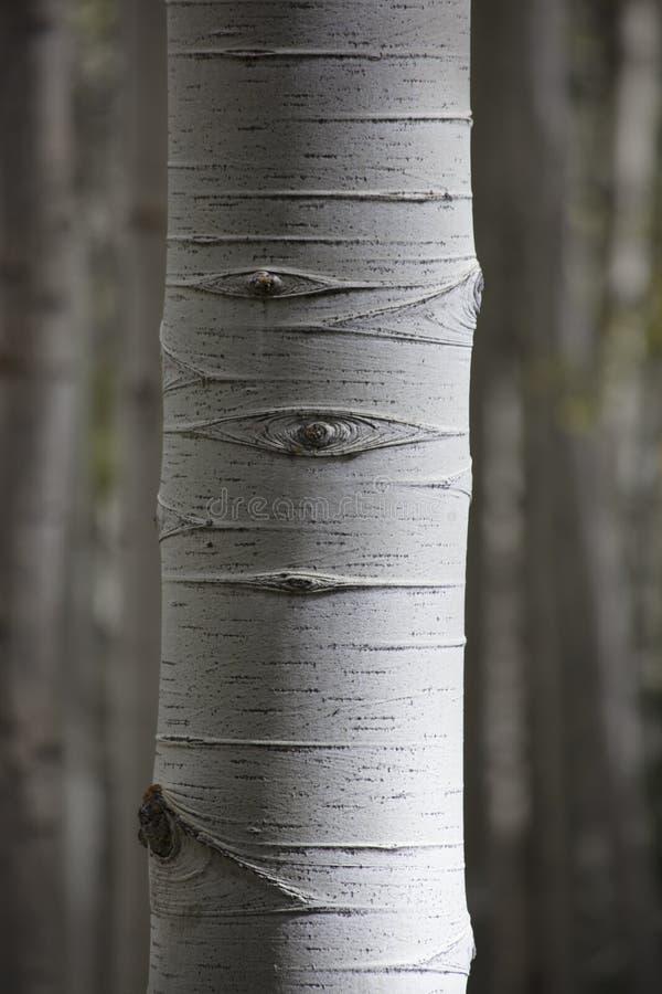 Feche acima do detalhe de tronco de árvore do álamo tremedor com casca branca e ate Colorado imagem de stock