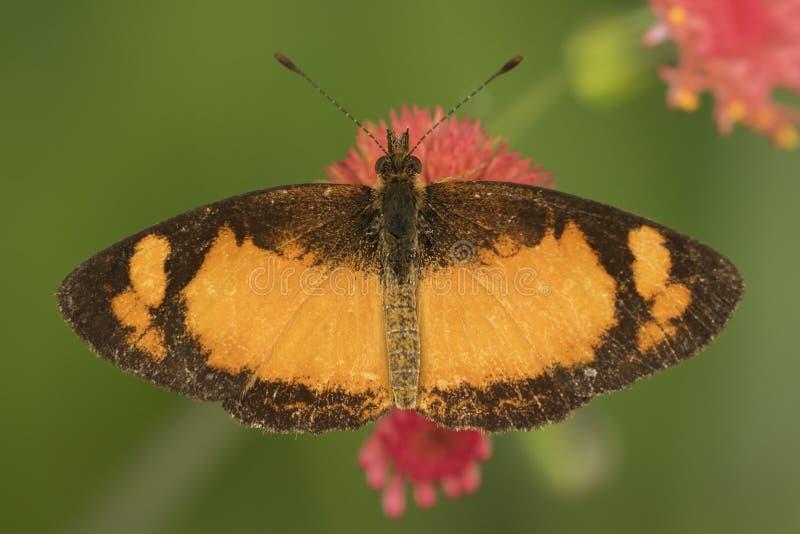 Feche acima do detalhe de uma borboleta preta e alaranjada em uma flor vermelha de cima de foto de stock