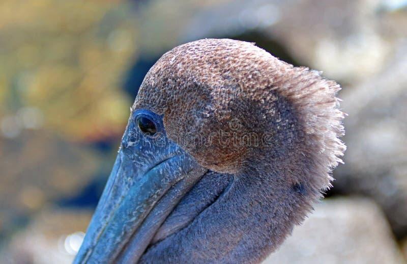 Feche acima do ` do mohawk do ` do pelicano no porto de Cabo San Lucas em Baja México fotos de stock