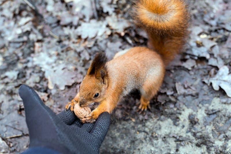 Feche acima do esquilo de alimentação da mão dos adultos na floresta imagem de stock
