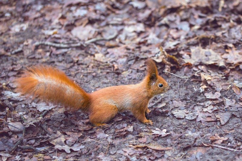 Feche acima do esquilo de alimentação da mão dos adultos na floresta fotos de stock