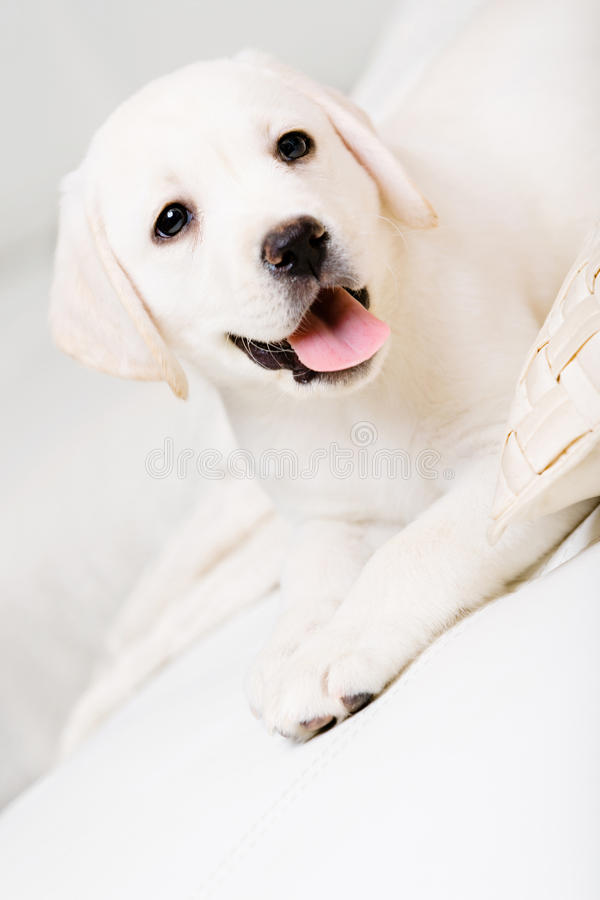 Feche acima do filhote de cachorro pequeno que encontra-se no sofá fotografia de stock royalty free