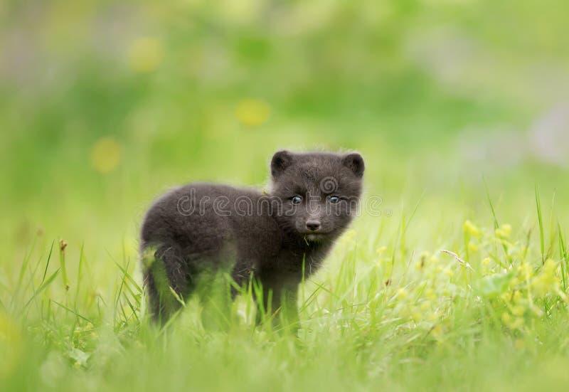 Feche acima do filhote do Fox ?rtico no prado fotos de stock