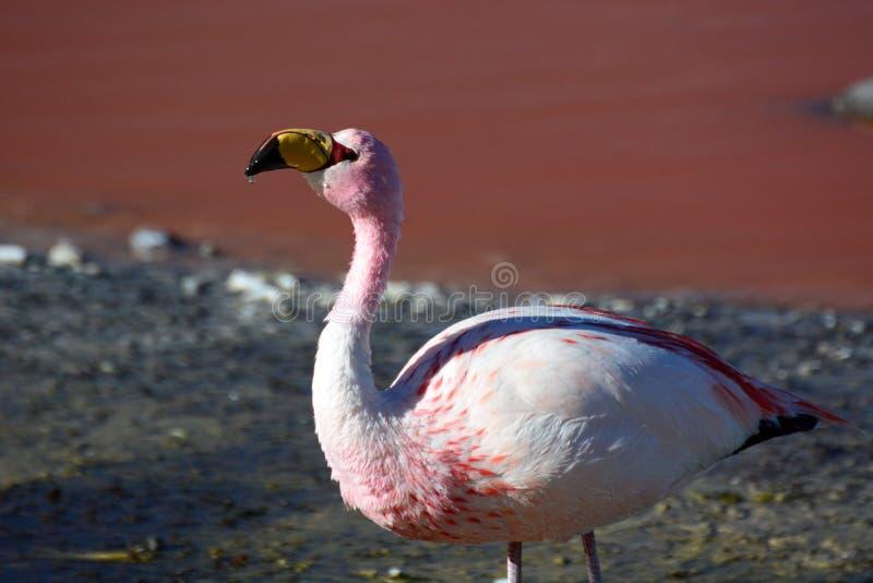 Feche acima do flamingo de James em Laguna Colorada Reserva de Eduardo Avaroa Andean Fauna National bolívia imagem de stock
