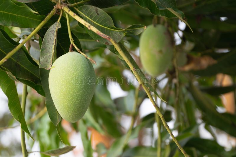Feche acima do fruto da manga no jardim Fruta tailandesa imagens de stock royalty free