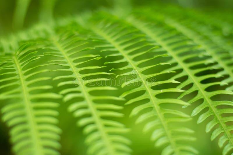 Feche acima do fundo verde do sumário da natureza da folha da samambaia imagens de stock royalty free