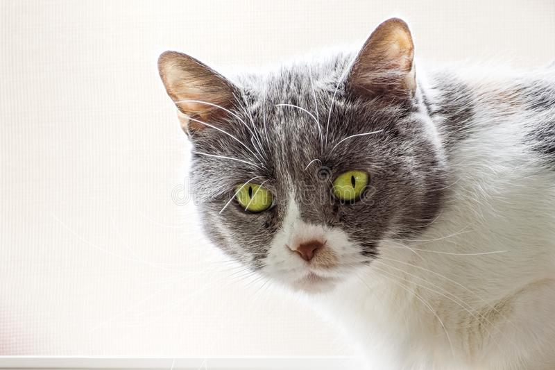 Feche acima do gato cinzento e branco com olhos verdes, olhando a câmera; fundo colorido claro foto de stock