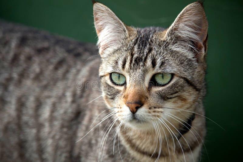 Feche acima do gato de gato malhado cinzento indiferente imagens de stock