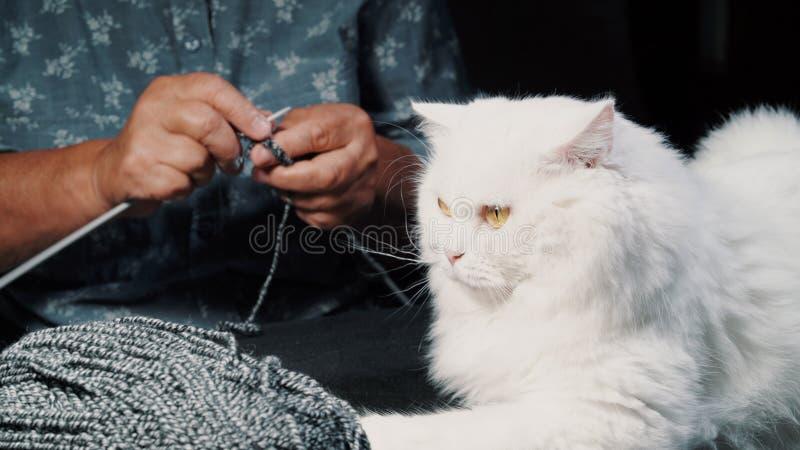 Feche acima do gato peludo branco que senta-se perto do fio de lã quando camiseta de confecção de malhas ou lenço da mulher idosa imagem de stock royalty free