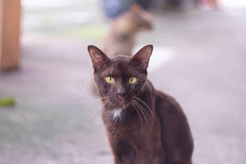 Feche acima do gato preto do retrato que olha a câmera com o ey amarelo grande imagem de stock