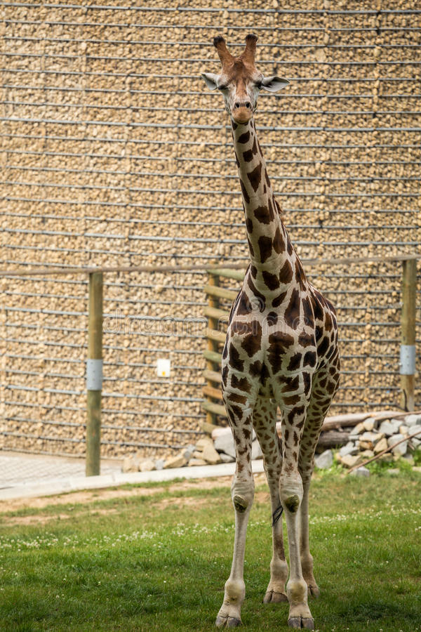 Feche acima do girafa bonito imagens de stock