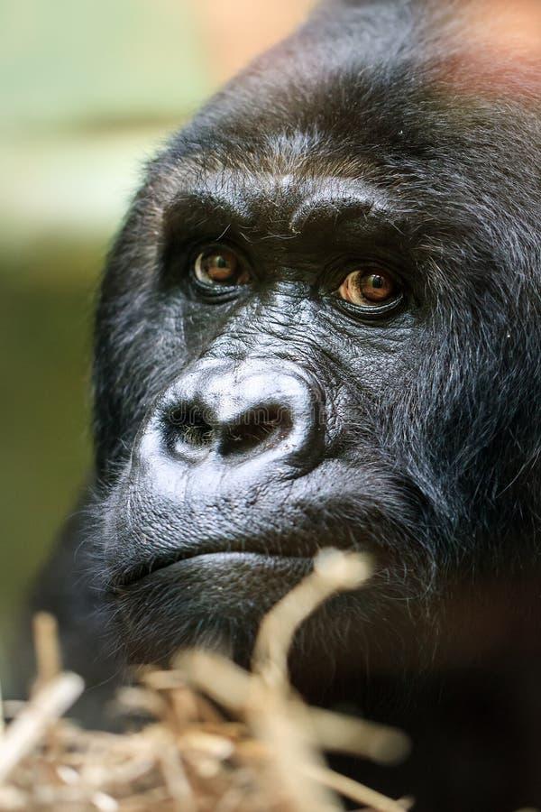 Feche acima do gorila do retrato fotografia de stock royalty free