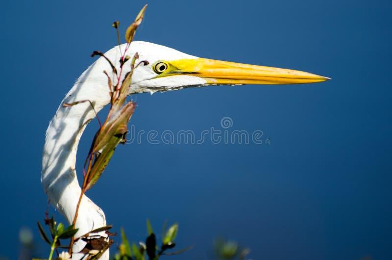 Feche acima do grande bico do Egret e dos lores verdes imagens de stock royalty free
