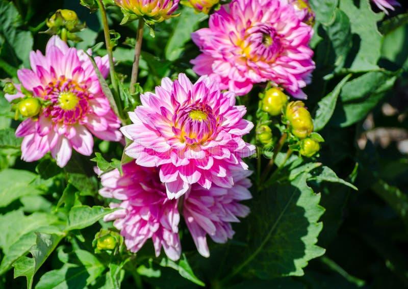 Feche acima do grupo bonito da flor cor-de-rosa da dália em uma estação de mola em um jardim botânico imagem de stock
