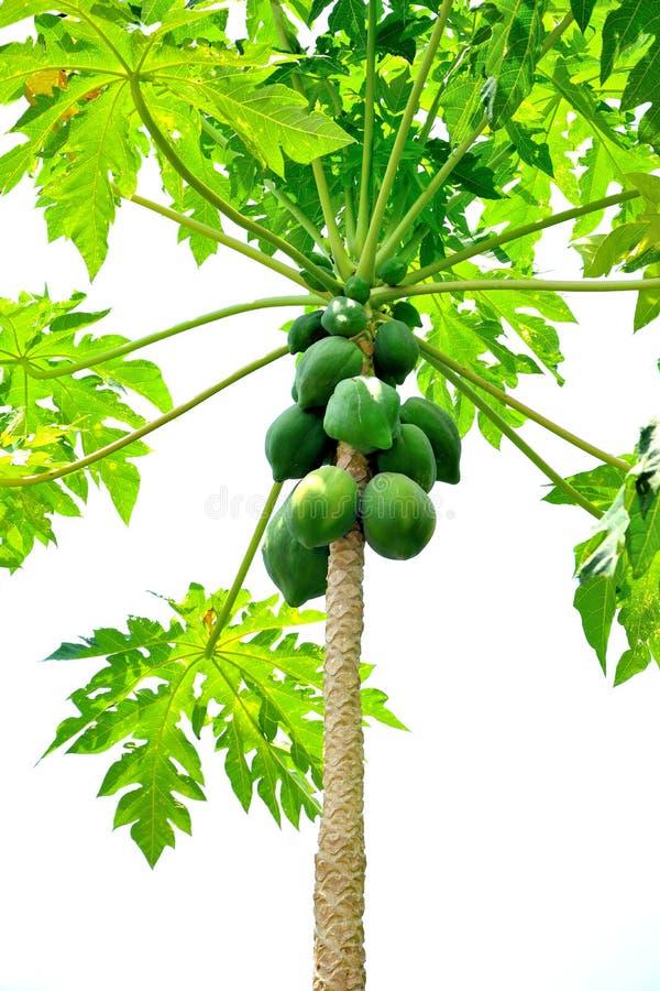 Feche acima do grupo de papaia crua na árvore com fundo branco fotografia de stock royalty free