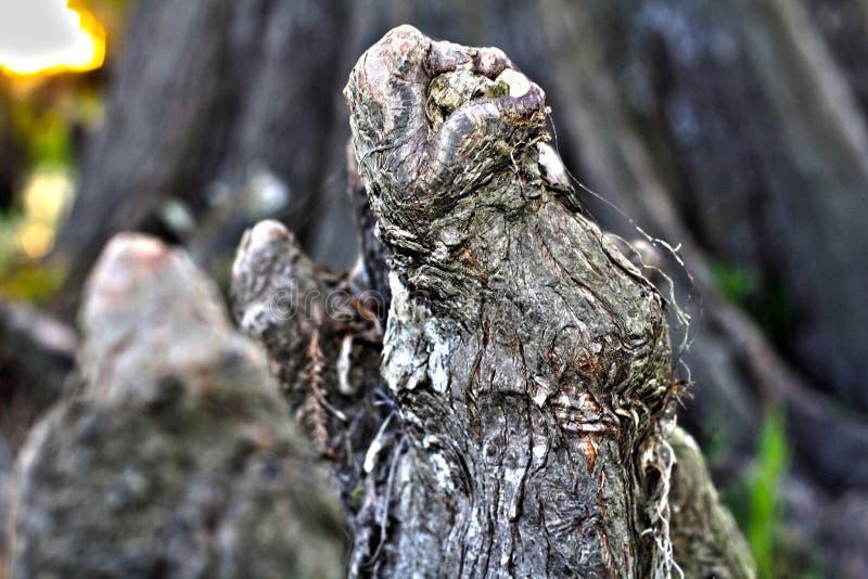 Feche acima do joelho de Cypress no lago Martin Louisiana Swamp imagem de stock
