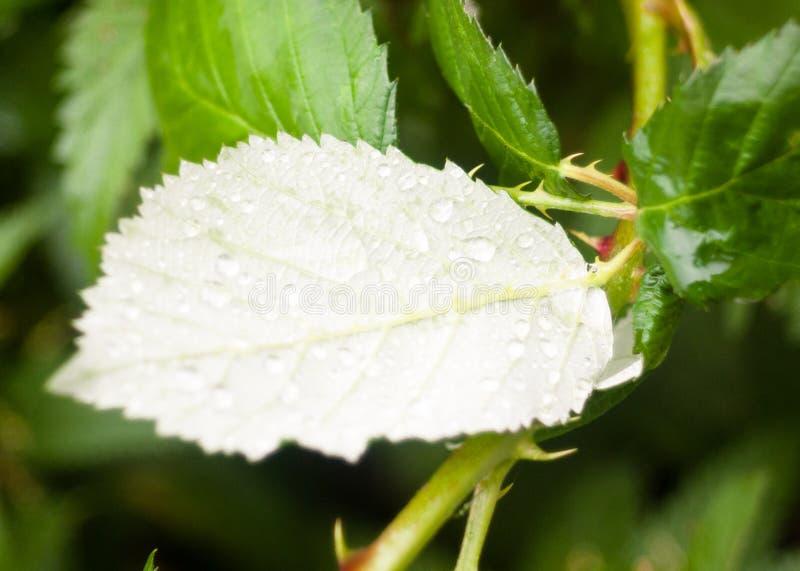Feche acima do lado de baixo de gotas verdes da chuva da água da folha fotografia de stock