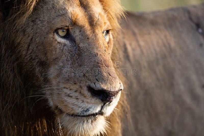 Feche acima do leão masculino que olha direito fotografia de stock