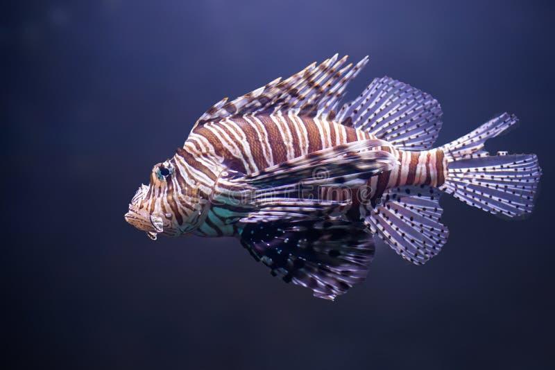 Feche acima do lionfish do, volitans do pterois fotografia de stock royalty free
