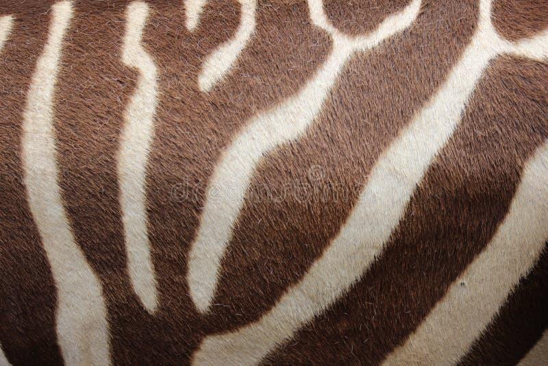 Feche acima do listras das zebras imagem de stock royalty free