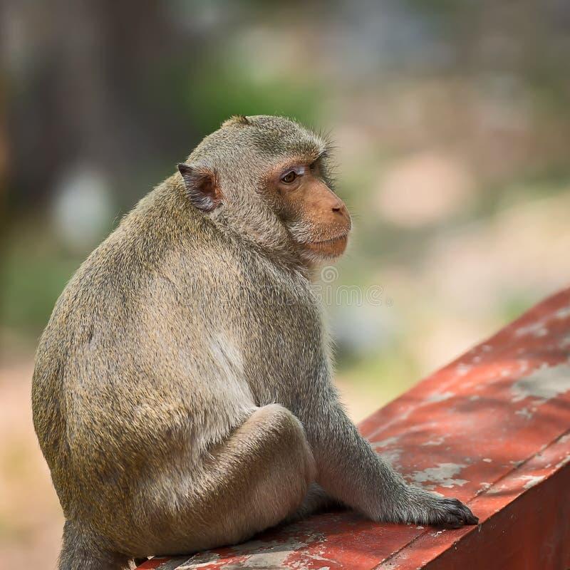 Feche acima do macaco foto de stock