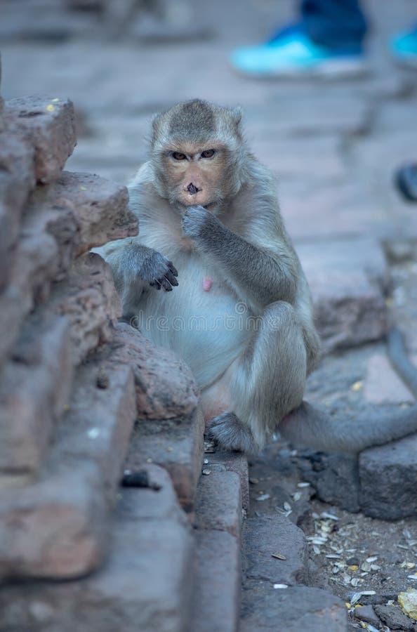 Feche acima do macaco irritado que come o milho imagem de stock royalty free
