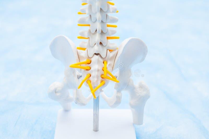 Feche acima do modelo humano do esqueleto da pelve Clínica médica, conceito da educação Foco seletivo Espaço para o texto foto de stock