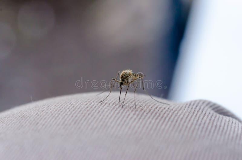Feche acima do mosquito foto de stock