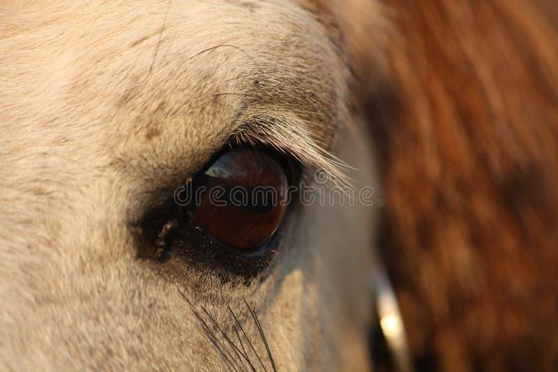 Feche acima do olho do cavalo do palomino foto de stock