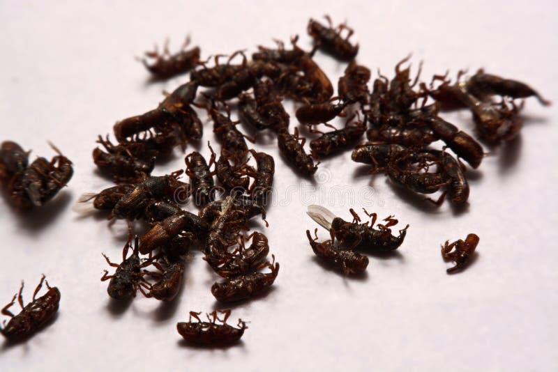 Feche acima do oryzae Sitophilus adulto das brocas de arroz isolado em w imagens de stock
