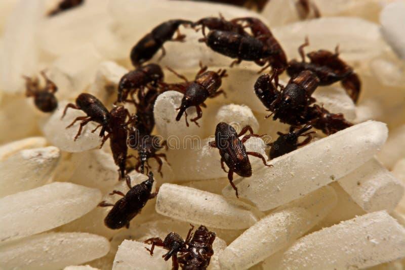 Feche acima do oryzae Sitophilus adulto das brocas de arroz na grão do arroz imagem de stock