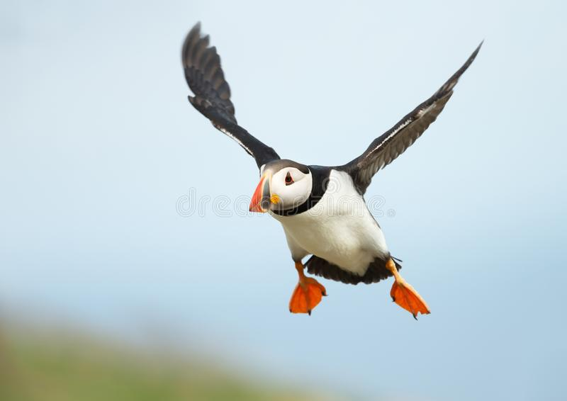 Feche acima do papagaio-do-mar atlântico em voo imagem de stock royalty free