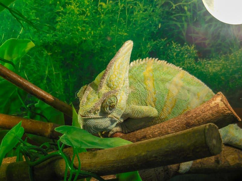 Feche acima do perfil colorido bonito do camaleão no zoopark em Chelyabinsk, Rússia fotografia de stock
