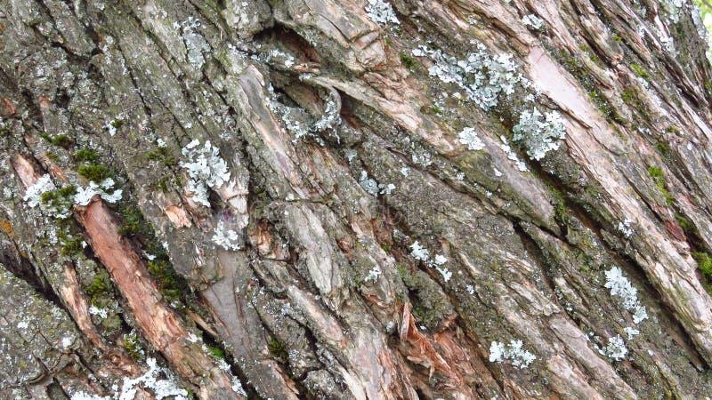 Feche acima do pinheiro de um século da casca coberto com o líquene e o musgo verde fotografia de stock royalty free