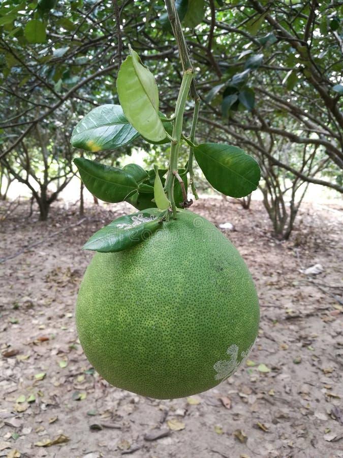 Feche acima do pomelo maduro que pendura na árvore de pomelo no jardim, fruto do Pomelo na videira fotografia de stock