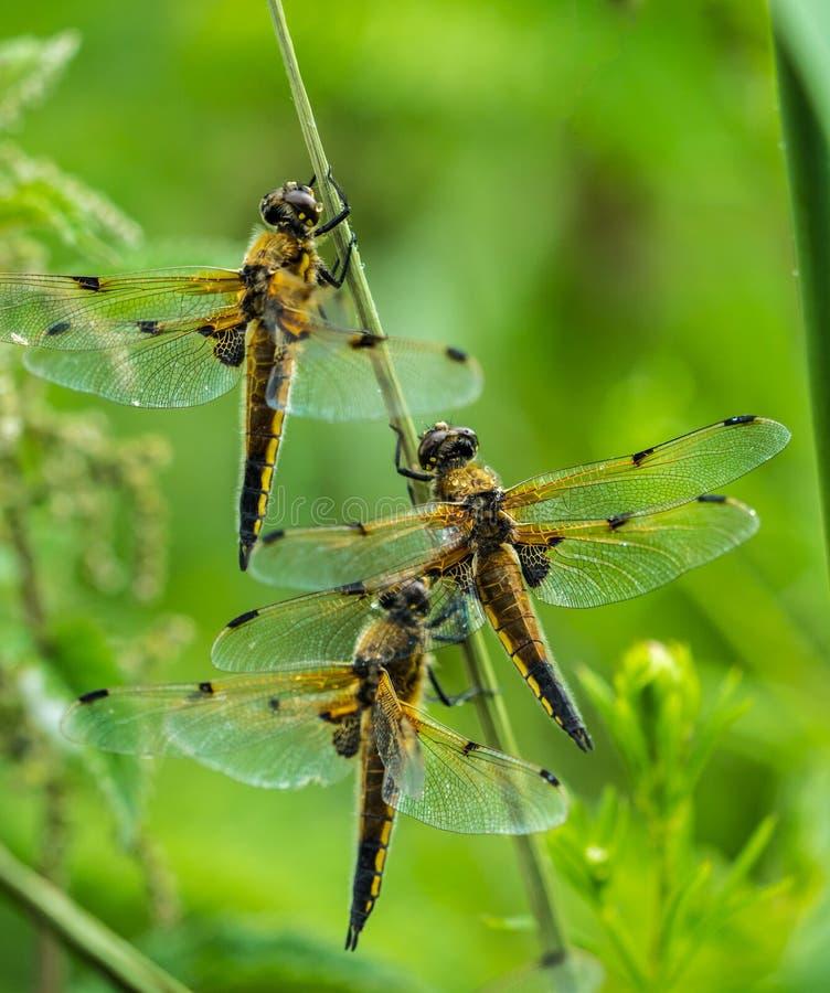 Feche acima do quadrimaculata Quatro-manchado de Libellula de três libélulas do caçador que protege da chuva imagens de stock